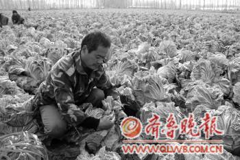 李知洲/李知洲村的菜农们个个都是种菜能手,种的白菜长势很好。本报记者...